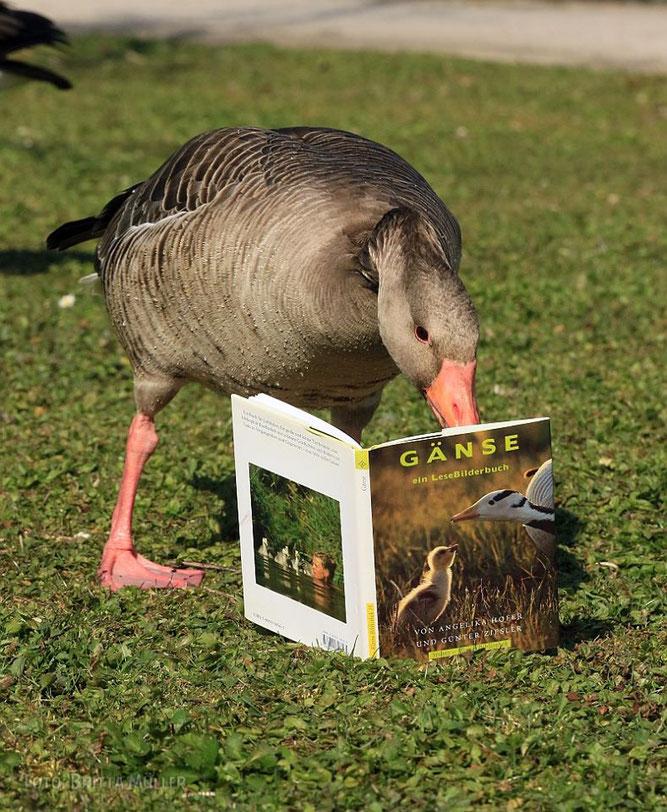 Der Grauganter liest eine Gänsebuch.