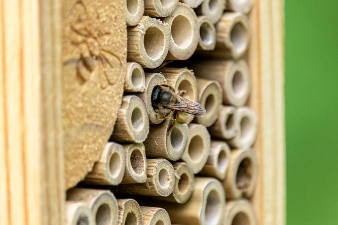 Wildbiene inspiziert Räumlichkeiten des Insektenhotels