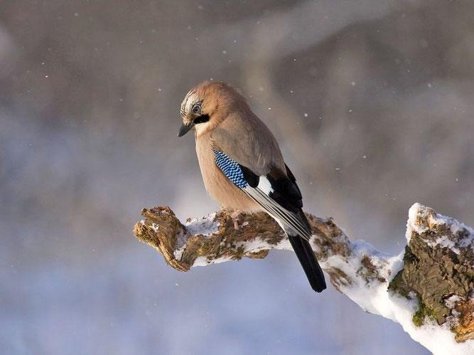 Eichelhäher im Schnee