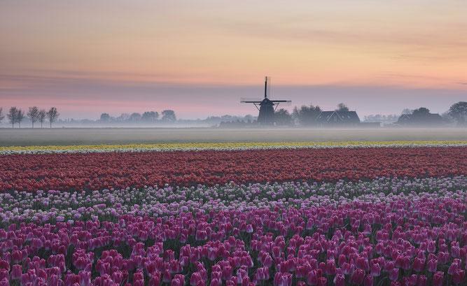 554. Tulpenveld met grondmist in de Beemster (3823)