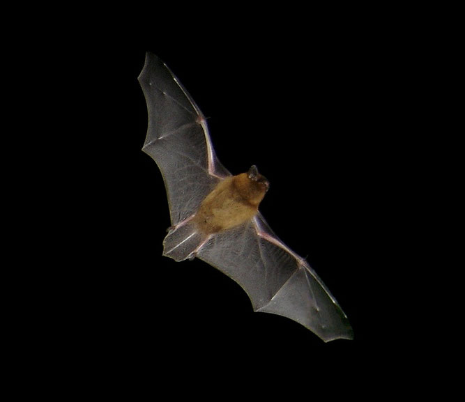 Zwergfledermaus (Pipistrellus pipistrellus) im Flug, Foto: Barracuda1983, Lizenz: Creative Commons by-sa 3.0 de
