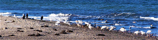 Vögel am Strand im NSG Riedensee