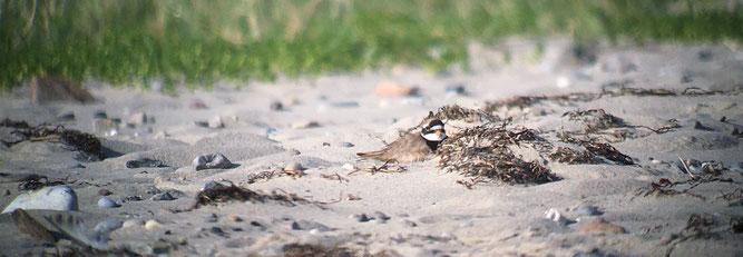 Sandregenpfeifer im NSG Riedensee