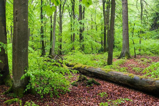 Beispiel für ein FFH-Gebiet: Zahlreiche schützenswerte Arten haben im Grumsiner Forst ihren Lebensraum. - Foto: NABU/S. Hennigs;