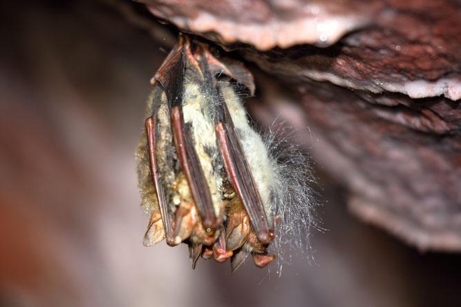 Große Mausohren im Winterschlaf. Am Bauch der Tiere wächst ein Pilz. - Foto: Otto Schäfer