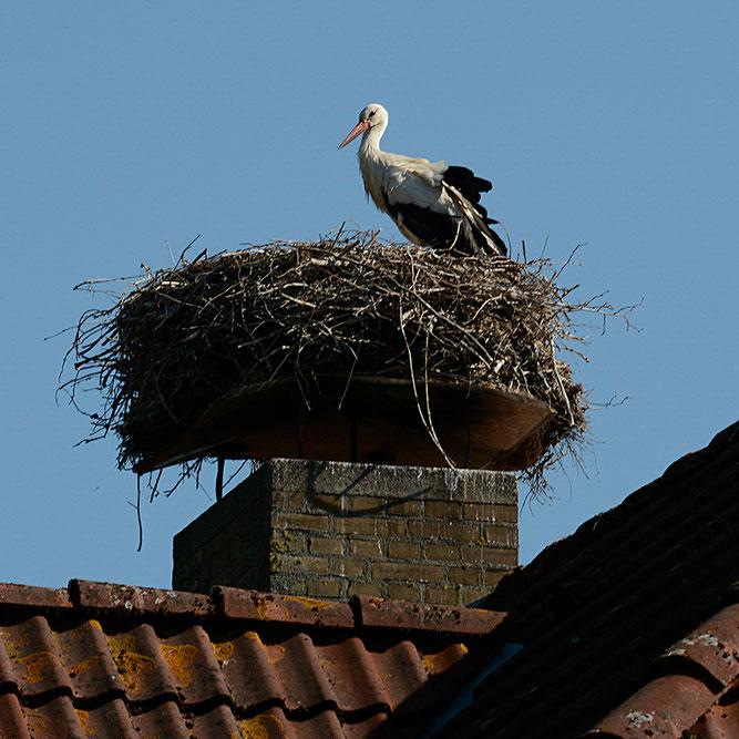 Storch auf seinem Horst - Foto (c) Ruth Severin)