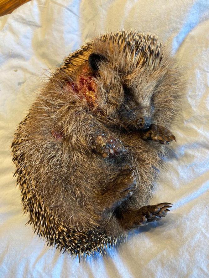 Kein schönes Bild: Dieser Igel wurde von einem Mähroboter übel zugerichtet. Ob er es überlebt, ist ungewiss. (Foto: Annett Witthauer)