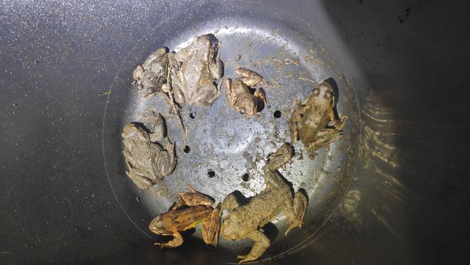 Neben Erdkröten fanden sich auch Grasfrösche in den Eimern. Foto: Roland Steinwarz