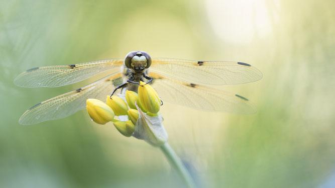 Vierflecklibelle, Sebastain Vogel, Libelle, Naturfotografie