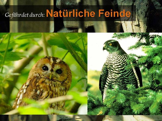 Waldkauz, Foto Marcel Weidenfeller; Habicht, Foto: DBV-Verlag