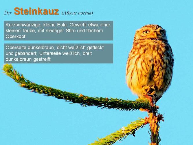Steinkauz ad., Foto: Marcel Weidenfeller