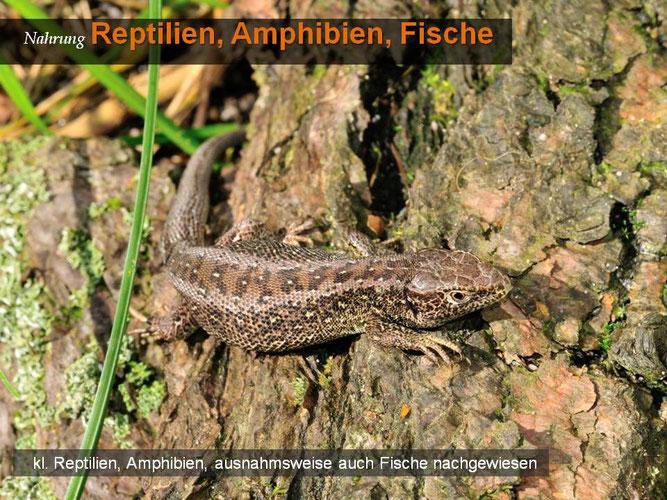 Waldeidechse, Foto: Marcel Weidenfeller
