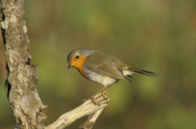 Rotkehlchen Vogel des Jahres Frank Hecker