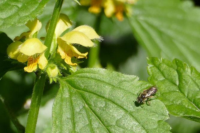 Goldnessel und Fliege