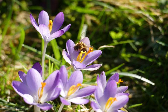 Biene an ersten Blüten am 21.02.2021