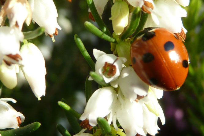 Marienkäfer (Coccinella septempunctata)