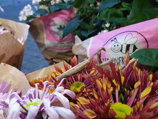 Gottesanbeterin gut getarnt inmitten von Blumen vor einem Supermarkt in Groß-Gerau (Foto: NABU Büttelborn [ow])