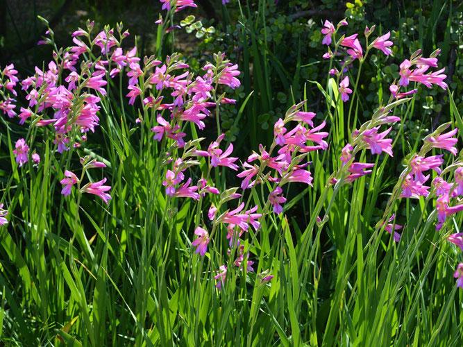 winterharte Wildgladiole Gladiolus communis ssp. byzantinus