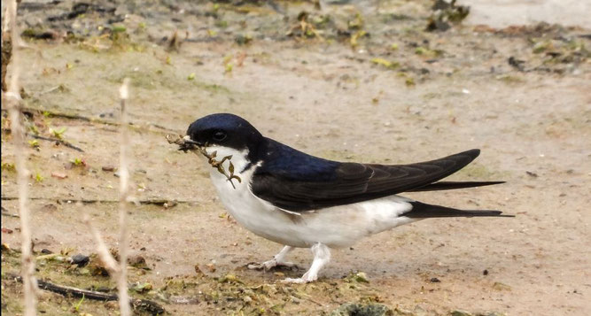 Bild NABU Datenbank:   Mehlschwalbe