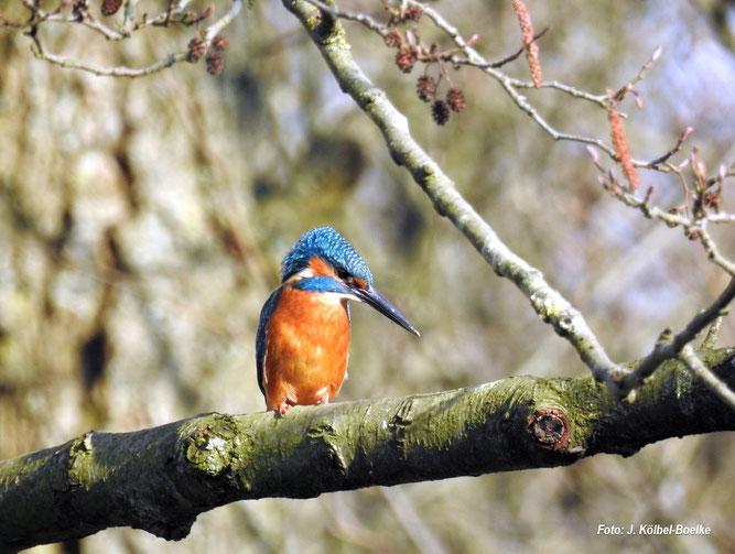Eisvogel am Sulinger Stadtsee - Foto:  NABU Sulingen/Jutta Kölbel-Boelke