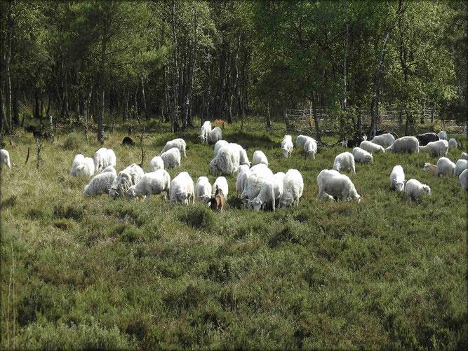 Schafherde zur Pflege der Heidefläche -  Foto: NABU Sulingen/Siegfried Boelke