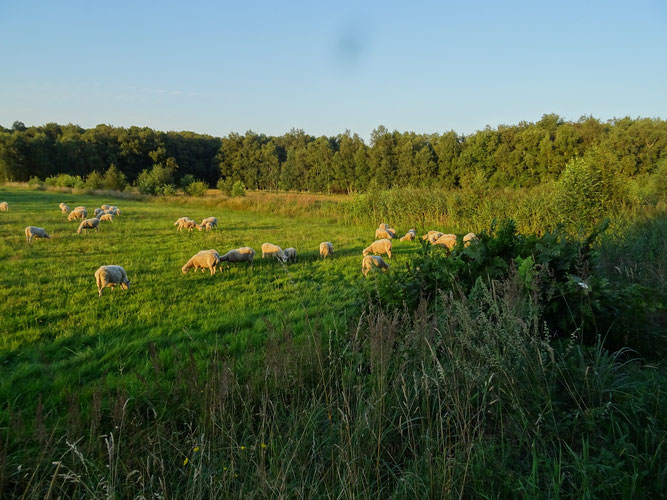 Königsfarn im Sulinger Moor mit Schafherde - Foto: NABU Sulingen/Udo Sakuth