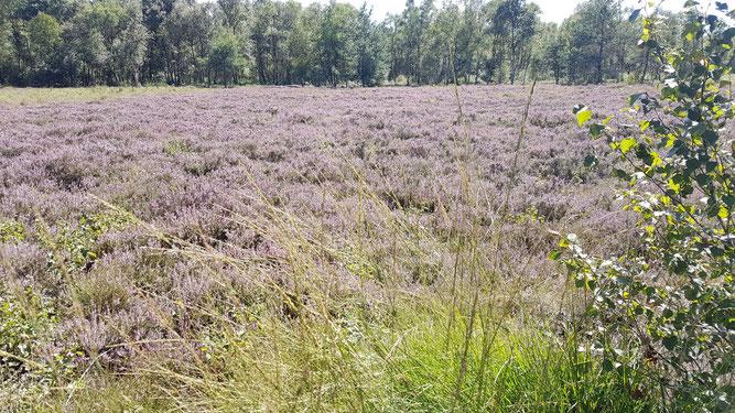 Heideblüte im Sulinger Moor - Foto: NABU Sulingen/Jutta Kölbel-Boelke