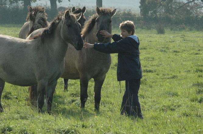 Wildpferde im Hessepark in Weener