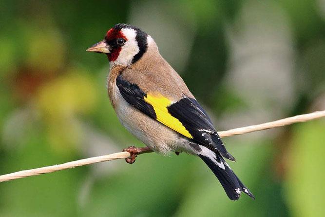 Der Stieglitz: Vogel des Jahres 2016