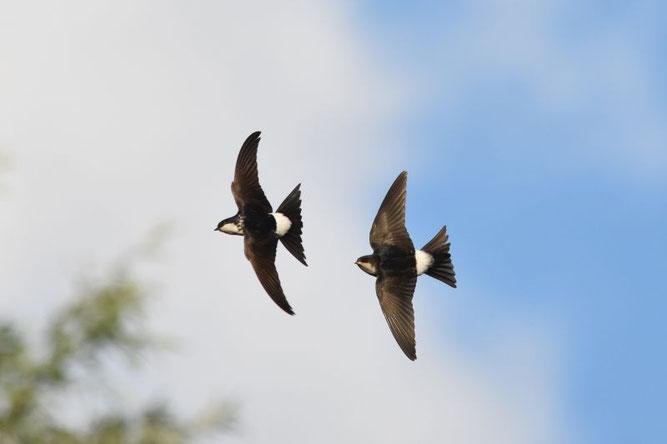 Mehlschwalben im Flug