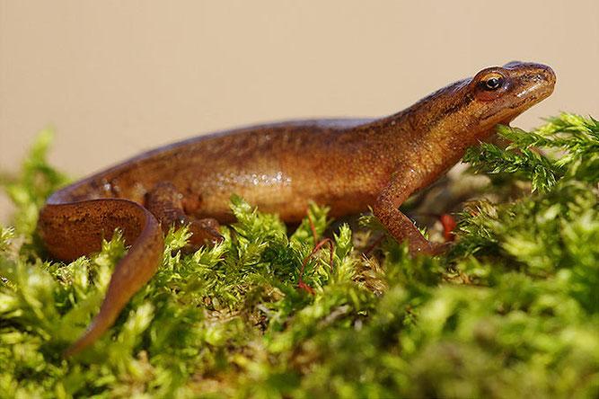 Vom Salamanderfresserpilz sind potentiell auch andere Schwanzlurche wie der Teichmolch betroffen. - Foto: Achim Schumacher