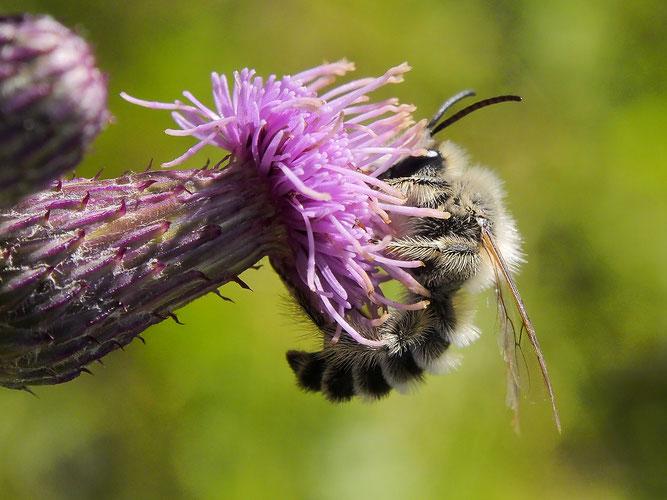 Rauhfüßigen Hosenbiene auf Kratzdistel
