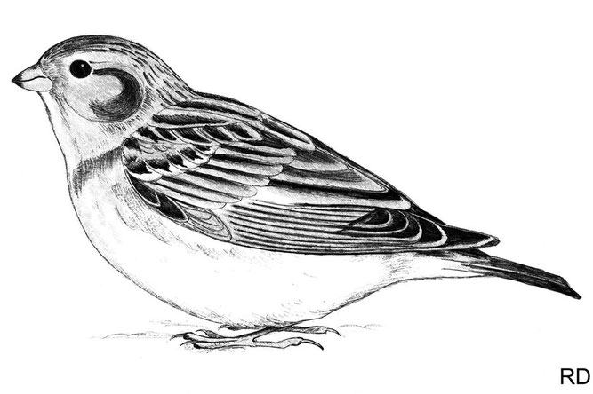 Schneeammer, Weibchen (Zeichnung: R. Drös)