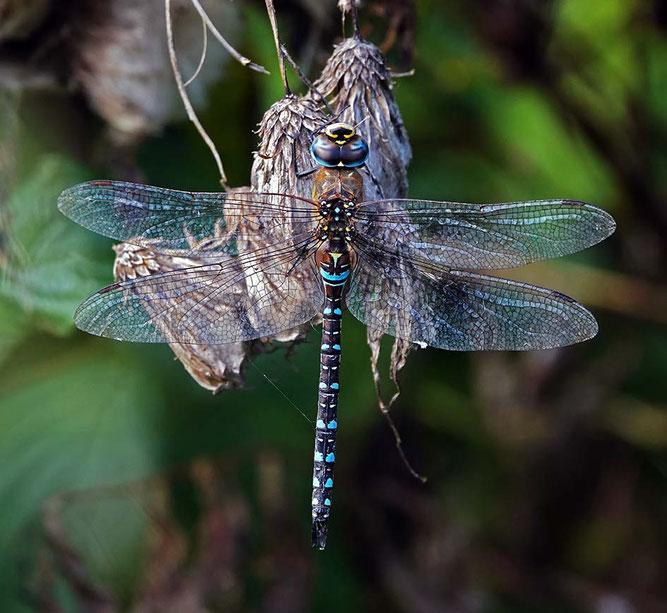 Männchen der Herbst-Mosaikjungfer (Foto: H. Schiffbauer)