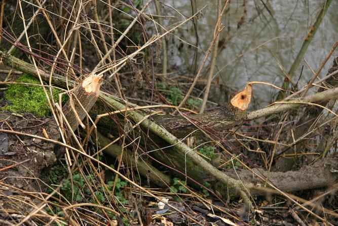 Weitere Nagespuren am Uferhang der Elsenz (Foto B. Budig, 02.02.2008).
