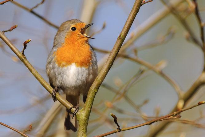 Die erste öffentliche Wahl zum Vogel des Jahres ist beendet. Foto: NABU/Willi Rolfes