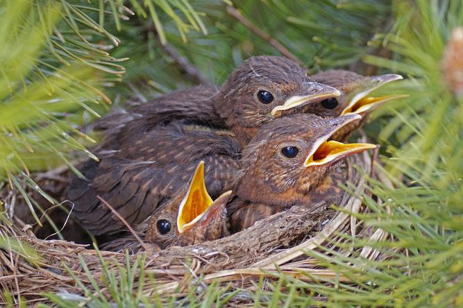 Junge Amseln im Nest, Foto: NABU/Sabine Teufl