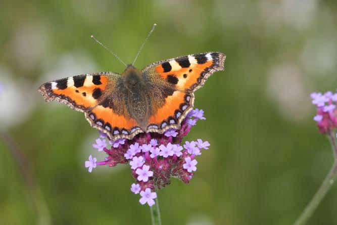 Der zweite Teil es Insektensommers geht vom 6.8. bis 15.08., Foto: NABU/Helge May
