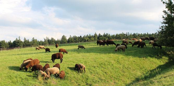 Schafzucht, Juraschafe Mutterschafe mit Lämmern auf der Weide