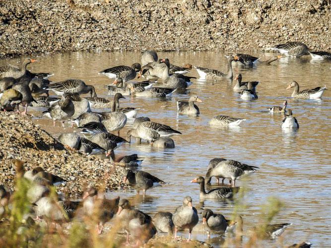 Hunderte Gänse haben sich im Naturschutzgebiet eingefunden. - Foto: Kathy Büscher