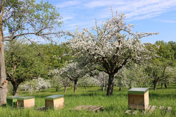 Wiese in S-Sonnenberg, wichtiger Lebensraum, Obst- und Honiglieferant (Foto: D. Stahn)