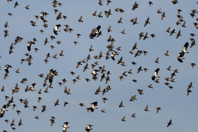 Star Kiebitz Schwarm Vogelzug