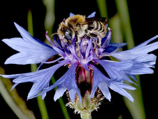 Adieu, kleine Mohnbiene (Hoplitis papaveris): Diese Einsiedlerbiene ist bundesweit stark im Bestand gefährdet und eine typische Bienenart der Agrarlandschaft.  Foto: © Rainer Prosi, Crailsheim
