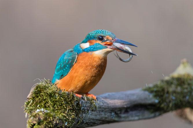 Eisvogel futtertragend Foto: NABU/Christoph Bosch
