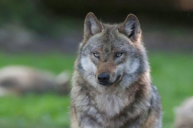 Wolf - Foto: Wolfgang Ewert