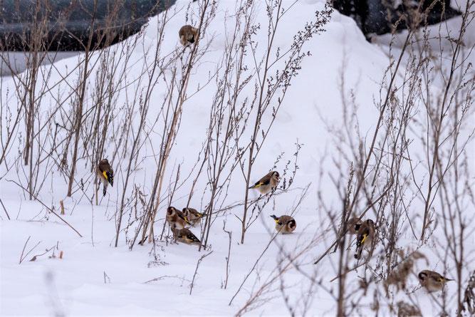 Foto: (K. Geilen) Stieglitze im Winter