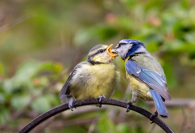 Foto: (pixaby/TheOtherKev) Blaumeise bei der Fütterung