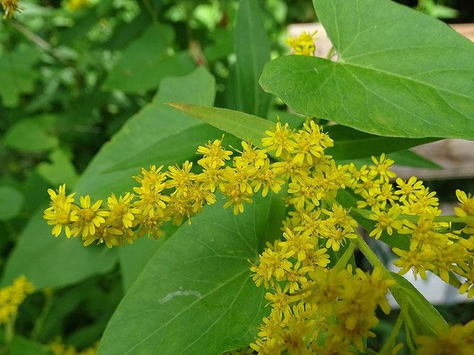 Kanadische Goldrute, Teil des Blütenstandes. Die breiten Blätter sind von einer Zaunwinde. 3. September 2021, Winsen