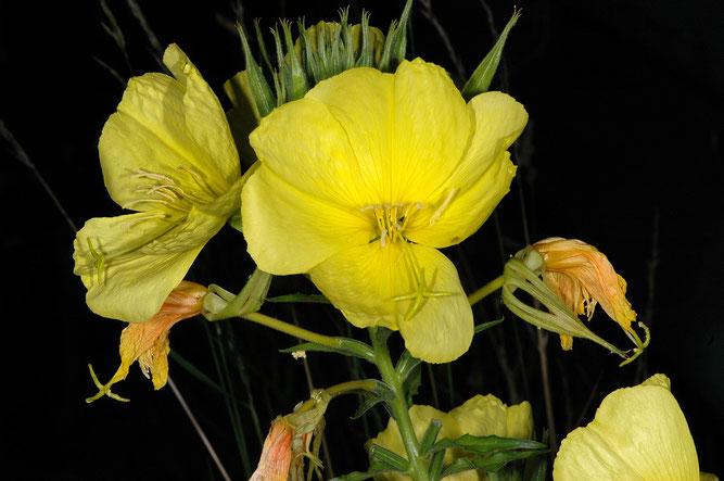 """Manchmal findet man Nachtkerzen mit besonders großen Blüten (""""grandiflora""""). Tönnhausen, 12. Juli 2011"""