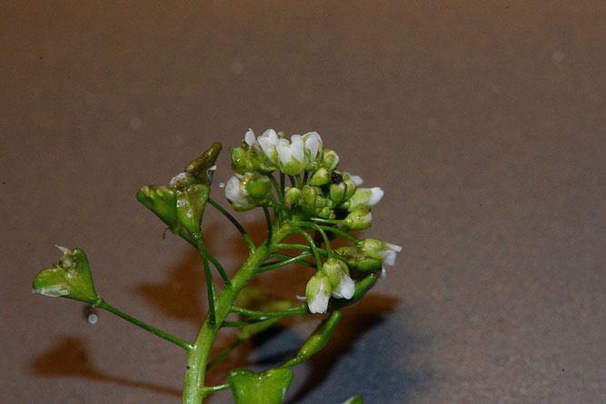 Hirtentäschelkraut, Blütenstand. Winsen, 1. Dezember 2019